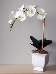 Орхідея phalaenopsis
