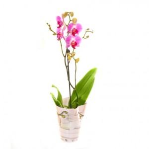 Орхідея фаленопсіс phalaenopsis