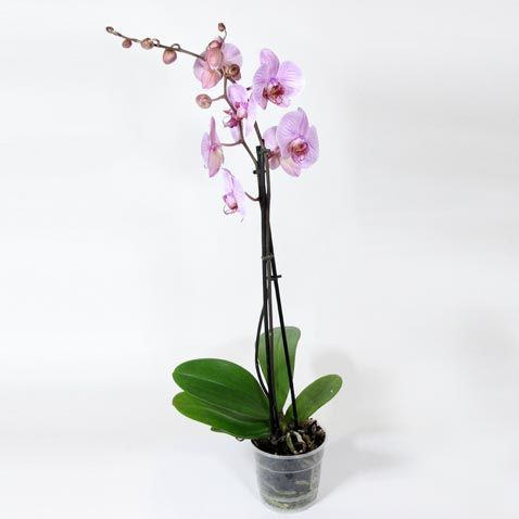 Орхідея в зимовий час