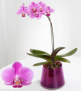 Орхідея фаленопсіс